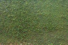 Groene van de de steenomheining van de bladklimop installatie behandelde de muurachtergrond Stock Fotografie