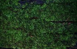 Groene van het moskorstmos textuur als achtergrond mooi in aard met mede Stock Foto