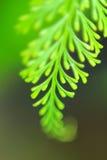 Groene varen Stock Afbeelding