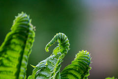 Groene varen Stock Fotografie