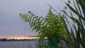 Groene varen bij het meer bij zonsondergang stock footage