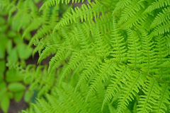 Groene varen dichte omhooggaand - textuur en achtergrond Stock Afbeelding