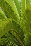 Groene varenachtergrond - verticaal Stock Fotografie