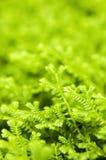 Groene varens Stock Foto