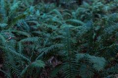 Groene varens onder de bomen op Weg van de Reuzen, Californië, de V.S. stock fotografie