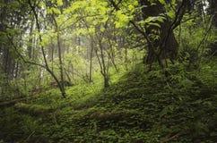 Groene vegetatie in bos in de zomer royalty-vrije stock afbeelding
