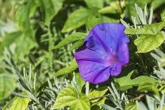 Groene vegetatie en blauwe bloemen van Petunia Stock Afbeeldingen