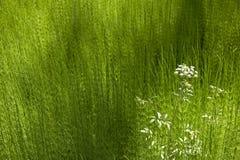 Groene vegetatie en witte bloem Brits Colombia canada Stock Afbeeldingen