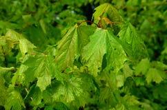 Groene verse bladeren in de lentetijd royalty-vrije stock fotografie