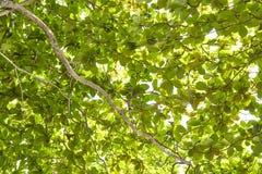 Groene verse bladeren een bosboom Stock Afbeeldingen