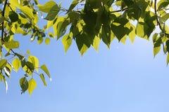 Groene verse bladeren van bomen op duidelijke blauwe hemel Stock Afbeelding