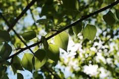 Groene verse bladeren van bomen op duidelijke blauwe hemel Stock Foto's