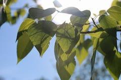 Groene verse bladeren van bomen op duidelijke blauwe hemel Royalty-vrije Stock Afbeelding