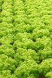 Groene verse groene sla met stroken Royalty-vrije Stock Foto