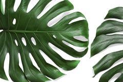 Groene verse monsterabladeren op witte achtergrond Tropische Installatie stock fotografie
