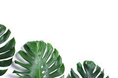 Groene verse monsterabladeren op witte achtergrond Tropische Installatie stock afbeeldingen