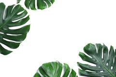 Groene verse monsterabladeren op witte achtergrond Tropische Installatie royalty-vrije stock fotografie