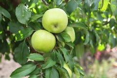 Groene verse simirenko van appelenreinette op de tak van de appelboom Stock Foto