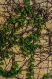 Groene vetical klimop Royalty-vrije Stock Fotografie