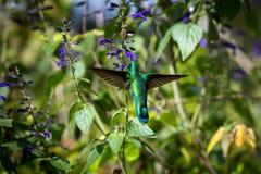Groene Violet Eared Hummingbird Stock Fotografie