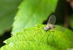 Groene vlieg met lange benen Stock Afbeeldingen
