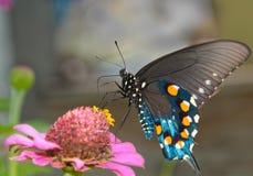 Groene Vlinder Swallowtail Royalty-vrije Stock Foto