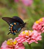 Groene Vlinder Swallowtail op dubbele roze Zinnia Stock Foto's