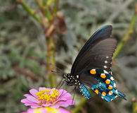 Groene Vlinder Swallowtail op lichtrose Zinnia Royalty-vrije Stock Afbeelding