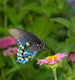 Groene Vlinder Swallowtail op roze Zinnia Stock Afbeelding