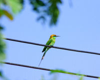 Groene vogel Stock Afbeelding