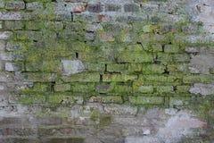 Groene Vormpaddestoel of Verrotting in Vuile Rode Bakstenen muur Stock Afbeeldingen