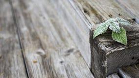 Groene vorstbladeren bij van het van het grunge bruine en grijze houten achtergrond, dorp en land stijlfoto stock afbeelding