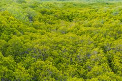 Groene vruchtbare mangrovebossen, Hoge hoek voor achtergrond stock foto's