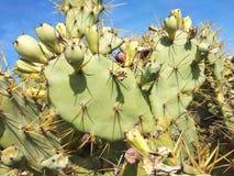 Groene vruchten van cactus en doornen in Spanje stock fotografie