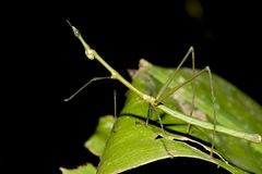 Groene Walkingstick - Ecuador Royalty-vrije Stock Foto
