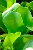 Groene Wasachtige Bladeren Stock Foto