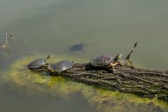 Groene waterschildpadden op het logboek bij oud moeras Royalty-vrije Stock Fotografie