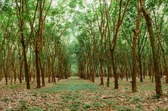 Groene Weelderige Paragraaf-rubberboomaanplanting in zuidelijk Thailand Royalty-vrije Stock Foto's