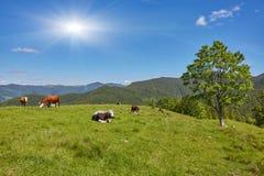 Groene weide in bergen en koeien stock foto
