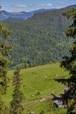 Groene weide in bergen en koeien royalty-vrije stock foto