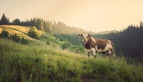 Groene weide in bergen en koeien royalty-vrije stock fotografie