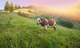 Groene weide in bergen en koeien royalty-vrije stock afbeelding