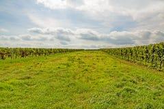 Groene weide tussen wijnstokvoorraden stock afbeelding