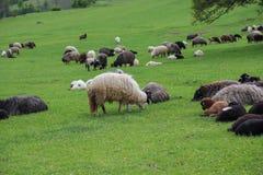 Groene weiden, paarden, koeien, schapen stock afbeelding