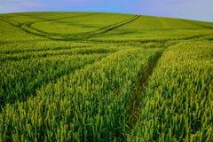 Groene wheatfield met lijnpatroon van voertuigsporen stock afbeelding