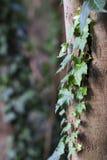 Groene wijnbouw op boom Stock Afbeeldingen