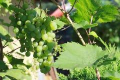 Groene wijndruiven op de installatie royalty-vrije stock foto's