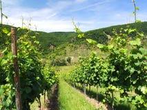 Groene wijngaard Stock Afbeelding