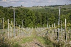 Groene wijngaard in de lente Stock Afbeelding