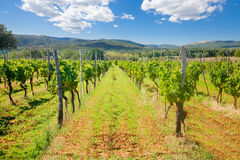 Groene Wijngaard onder Blauwe Hemel Stock Foto